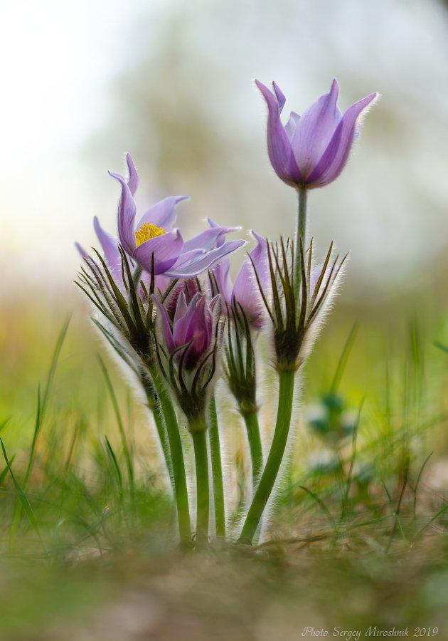 сон-трава, прострел, весна, апрель, цветок, украина, Сергій Мірошник