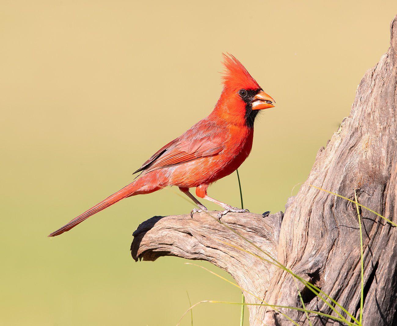 красный кардинал, northern cardinal, cardinal,кардинал, tx, texas, Elizabeth E