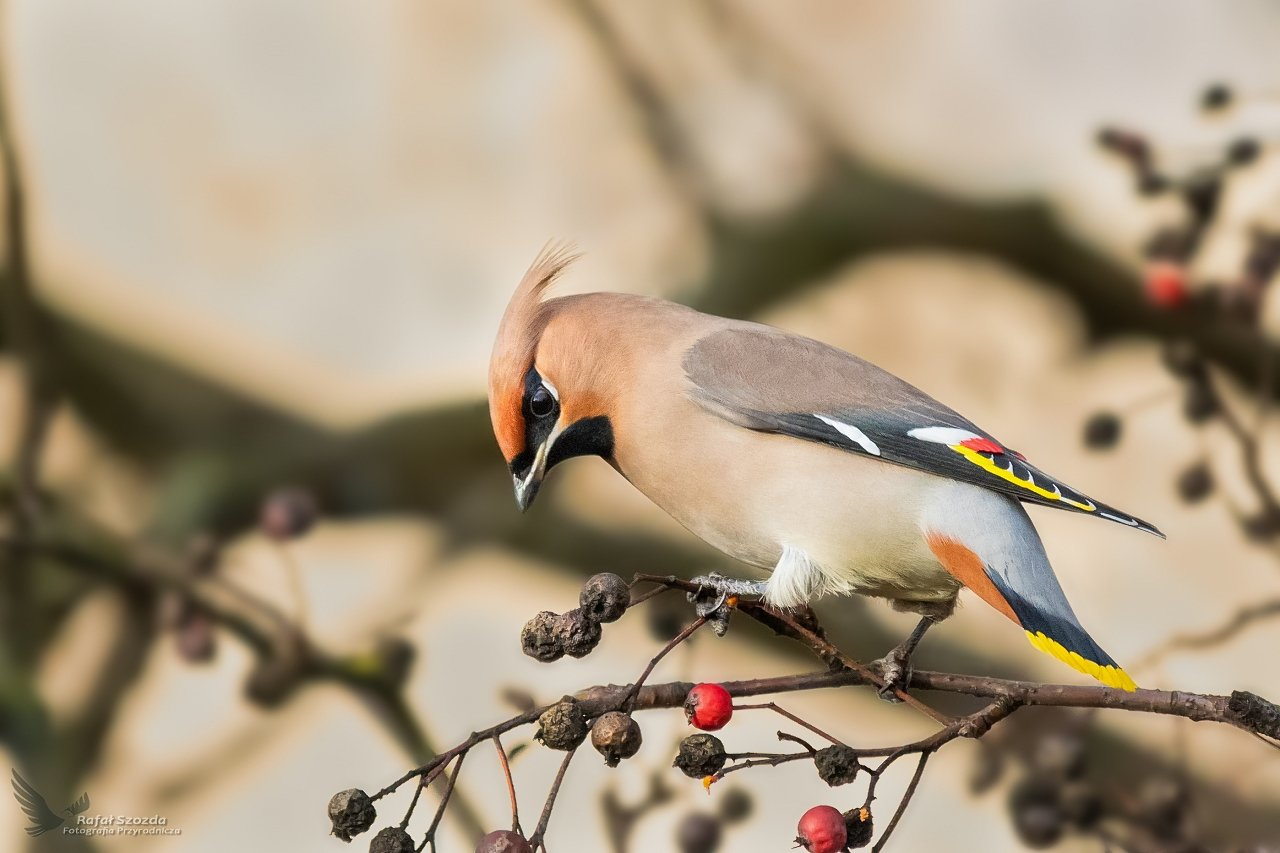 birds, nature, animals, wildlife, colors, winter, tree, nikon, nikkor, lens, lubuskie, poland, Szozda Rafal