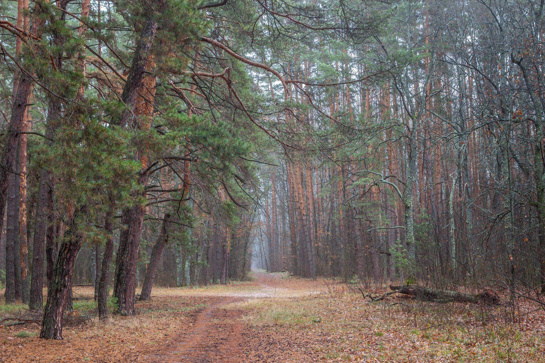 туман, сосны, осень, лес, заповедник, дорога, Востриков Руслан
