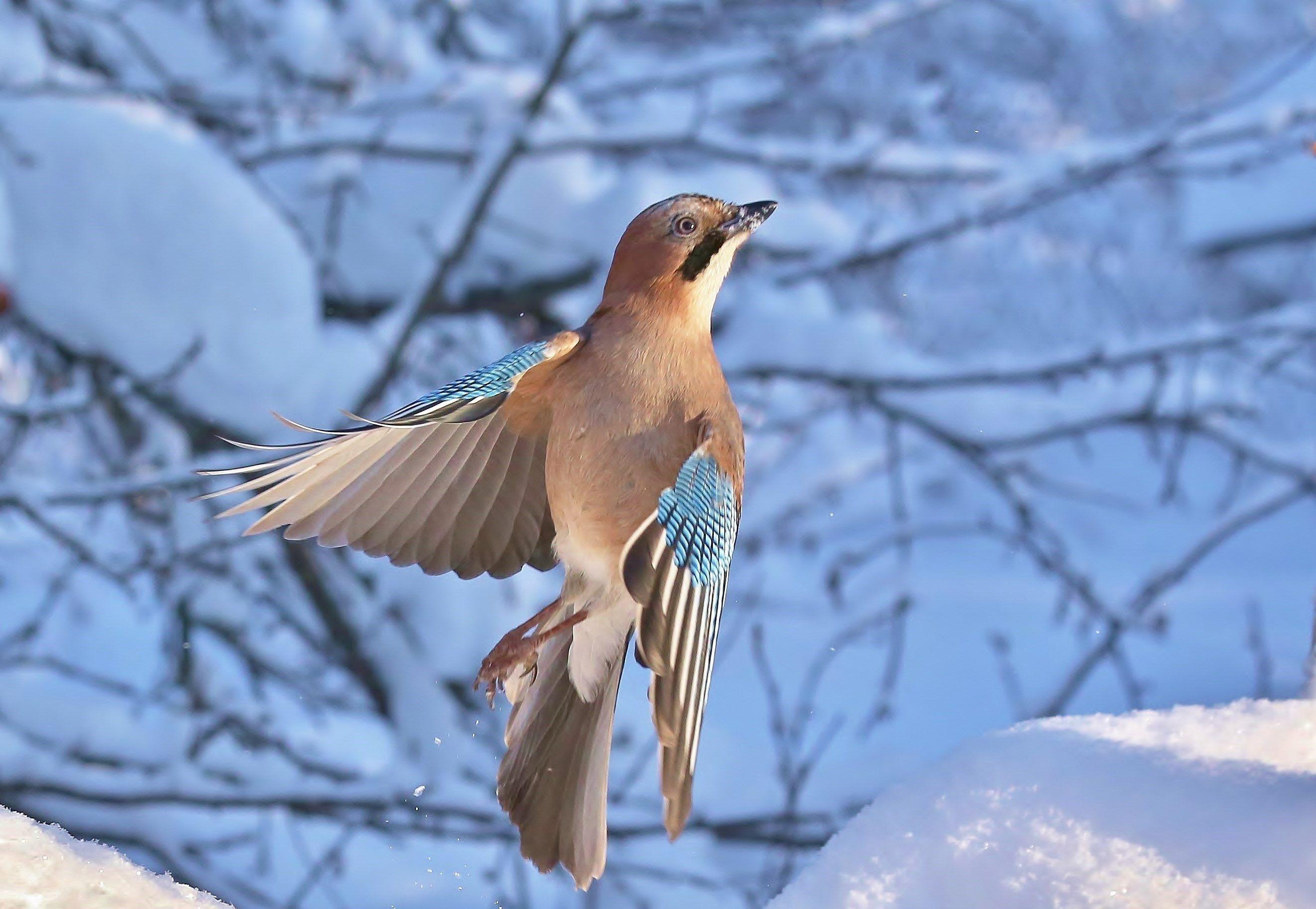 природа , птицы , сойка , зима, Головнев Андрей