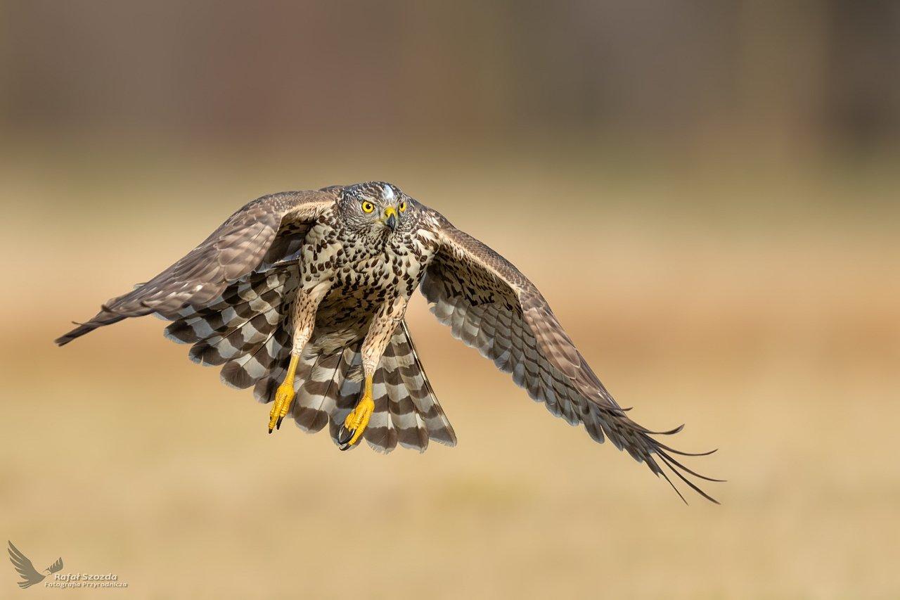 birds, nature, animals, wildlife, colors, winter, raptors, wings, nikon, nikkor, lens, lubuskie, poland, Szozda Rafal