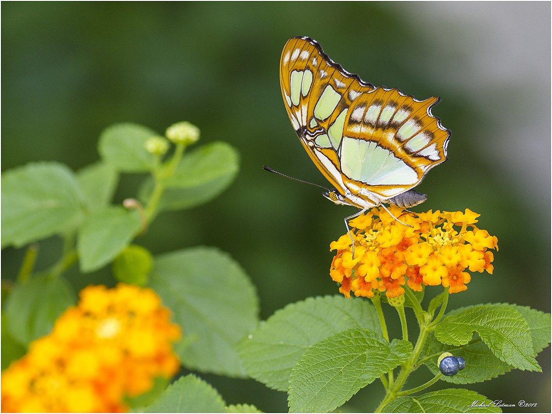 бабочка,цветок.лето,осень,хокку, Michael Latman