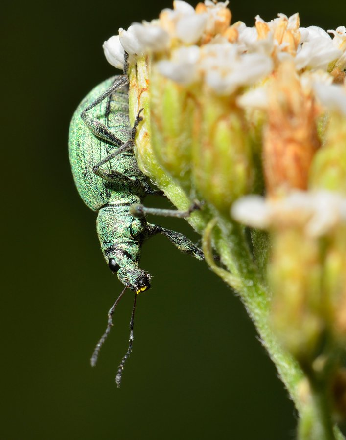 nikon, d7000, macro, kazakhstan, nature, curculionoidea, coleoptera, arthropoda, weevil, beetle, макро, долгоносик, жук, Эдуард Ким