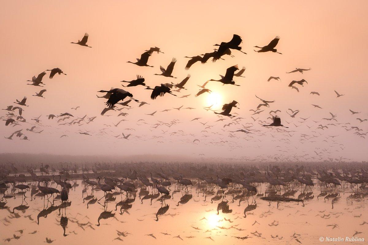 природа,птицы,животные,журавли,рассвет,утро,туман,отражения,свет,полёт,стая птиц,магия природы, Рублина Наталья
