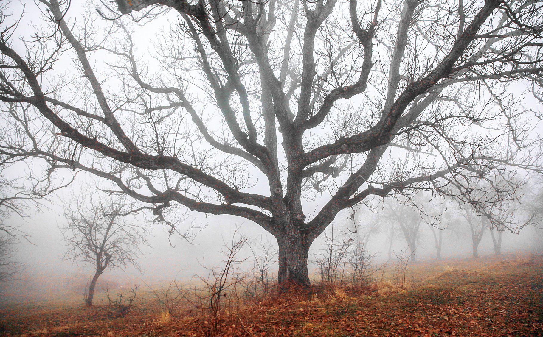 орех,дерево,старое дерево,туман,деревья,дагестан,, Magov Marat