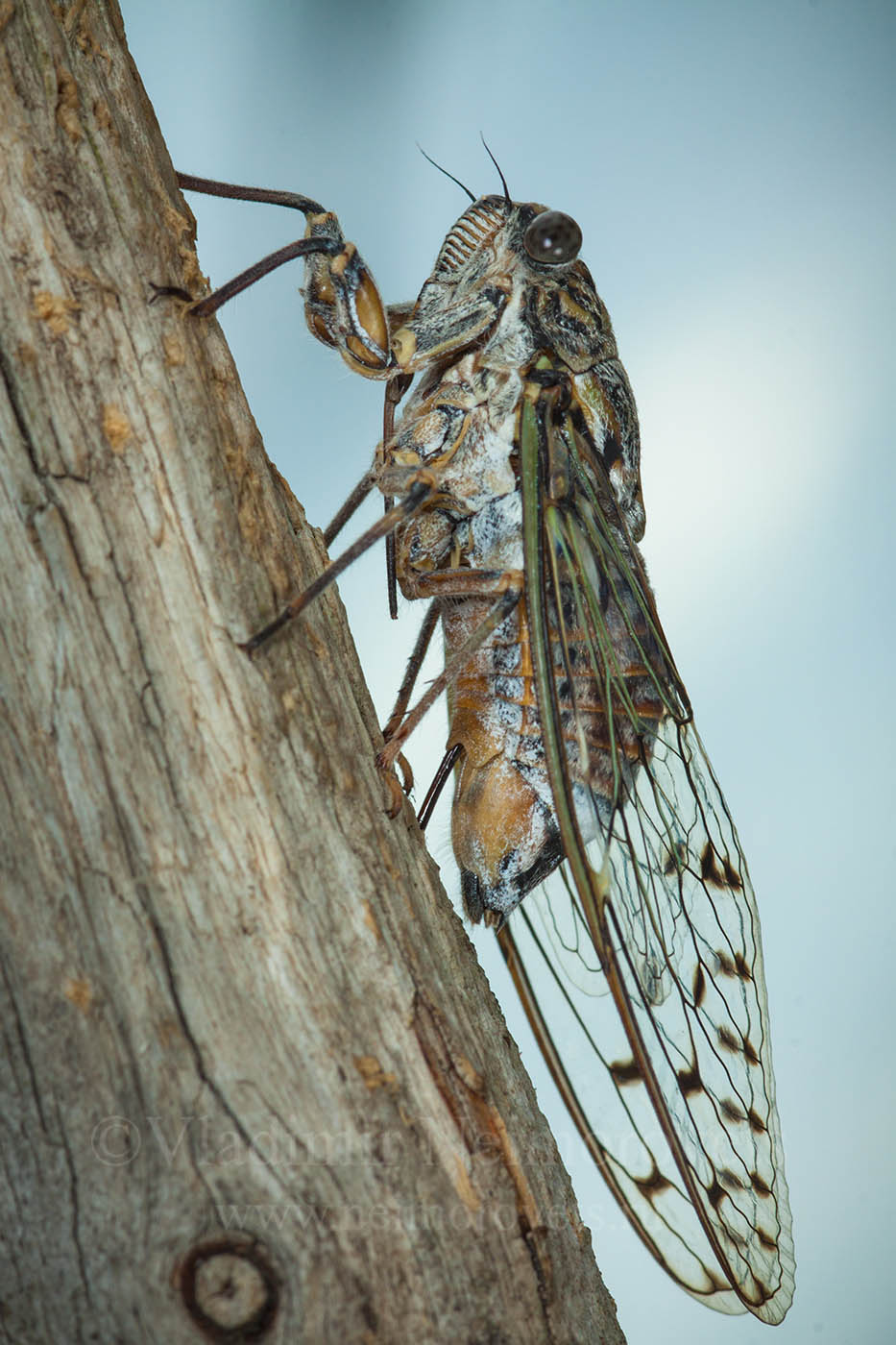 cicada orni, cicada, dzhankhot, krasnodar territorynorth west caucasus, northwestern caucasus, russia, insect, insecta, animals, hemiptera, cicadidae, female, vertical frame, macro, nature, oviposition, egg-laying, burck, tree trunk, trunk, wood, Владимир Нейморовец