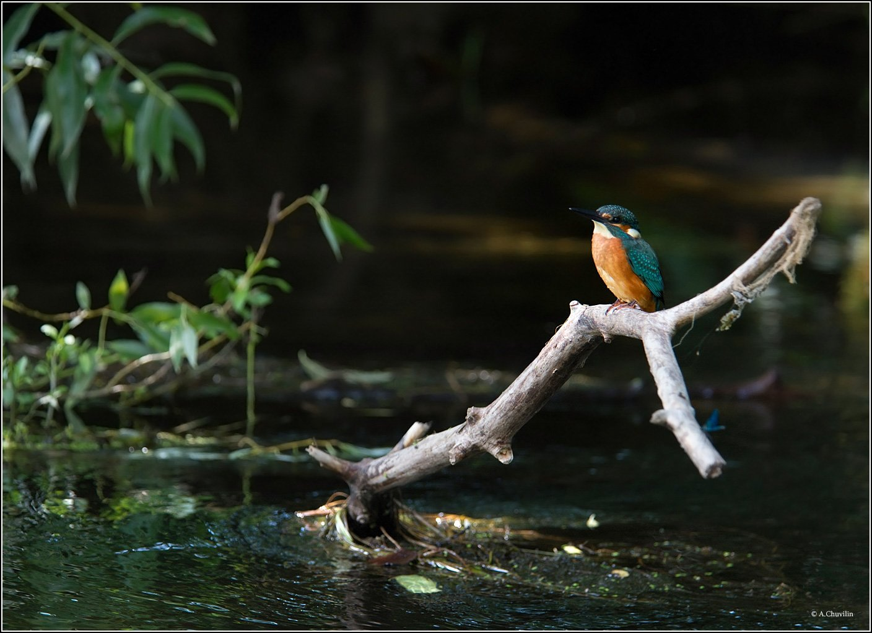 птица,зимородок,река,лето, Александр Чувилин