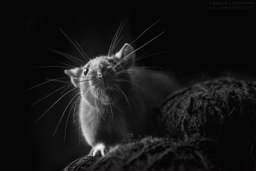 крыса, усы, Литовченко Евгения