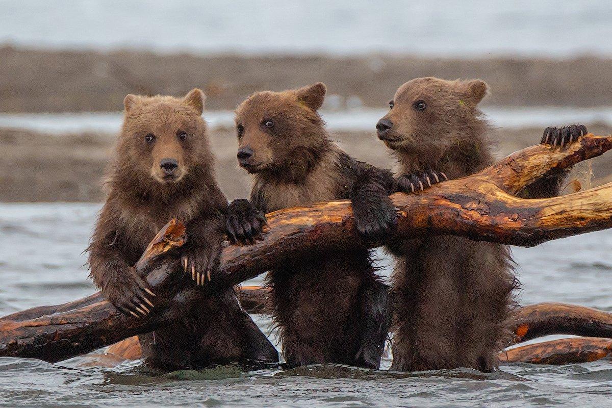 камчатка, медведь, природа, путешествие, фототур, животные, лето, Денис Будьков