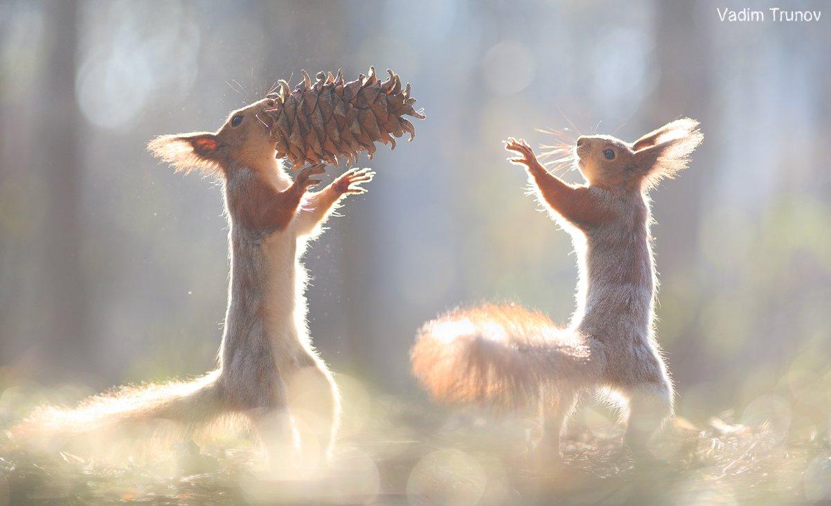 белка, squirrel, шишка, Вадим Трунов