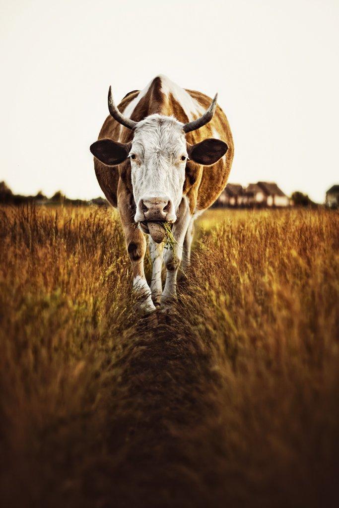 корова, животные, скот, рогато-копытные, домашний скот, портрет, Маховицкая Кристина