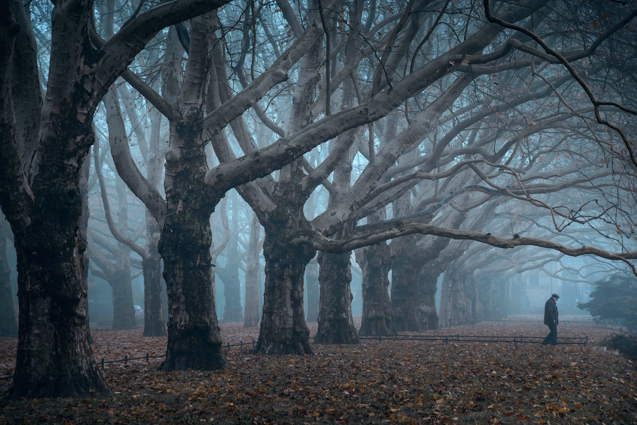 исчезающий vanishing old man trees dranikowski foggy morning platans tree path fog mist magic foggy, Radoslaw Dranikowski