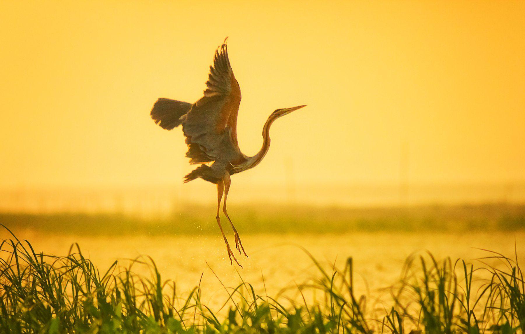 Birds,Purple_Moorhen,Deepor_Wetland,Assam,Guwahati,India, Patgiri Samsul Huda
