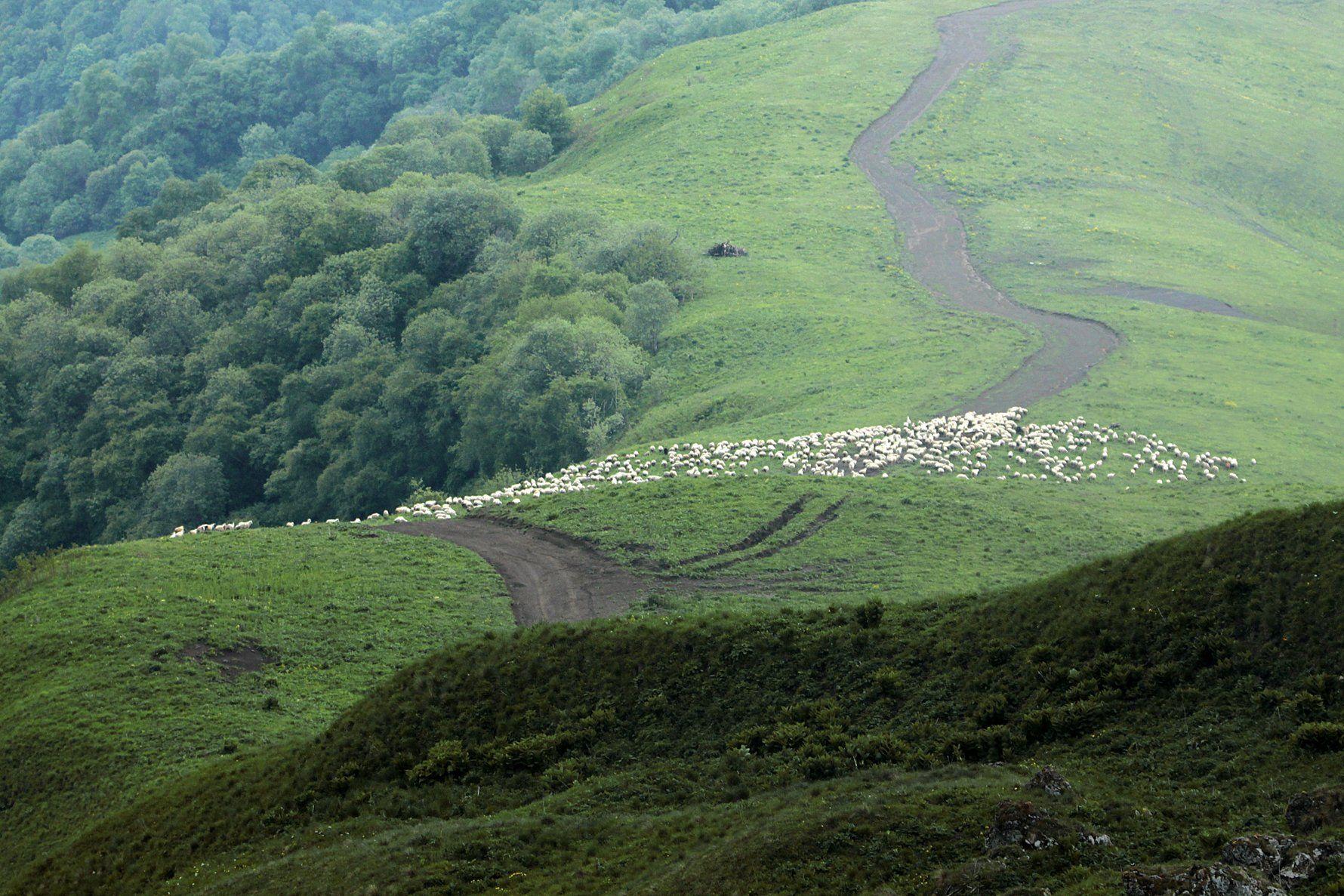 овцы,горы,пейзаж,горный пейзаж,весна,чечня,северный кавказ,, Magov Marat