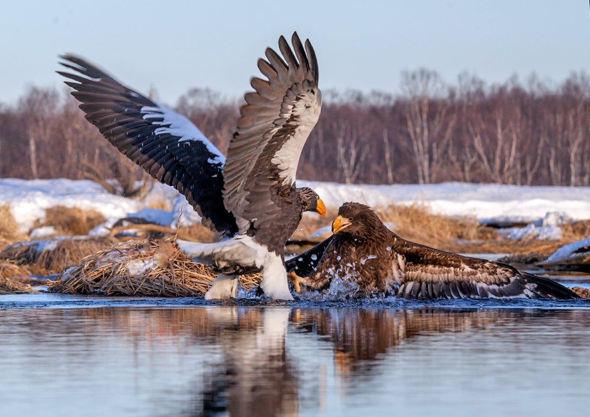 камчатка, орел, природа, путешествие, фототур, птицы, зима, Денис Будьков