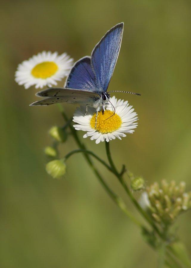 бабочка, голубянка, короткохвостая, Cheplenko Aleksey