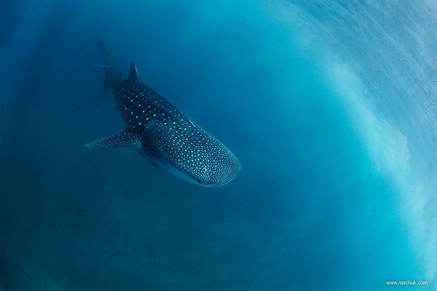 shark,whale,sky,blue,dive,philippines, Нарчук Андрей