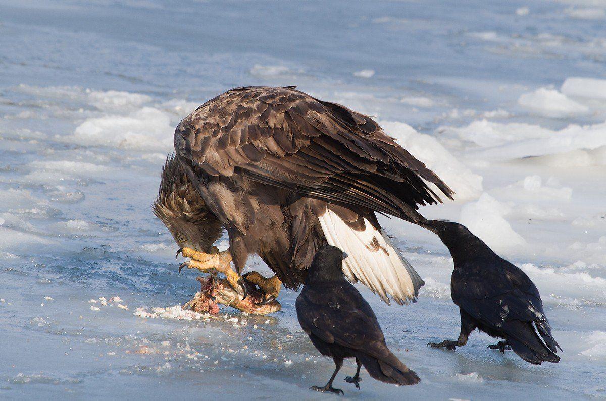 орлан, белохвостый, ворона, черная, Evgeny Slobodskoy
