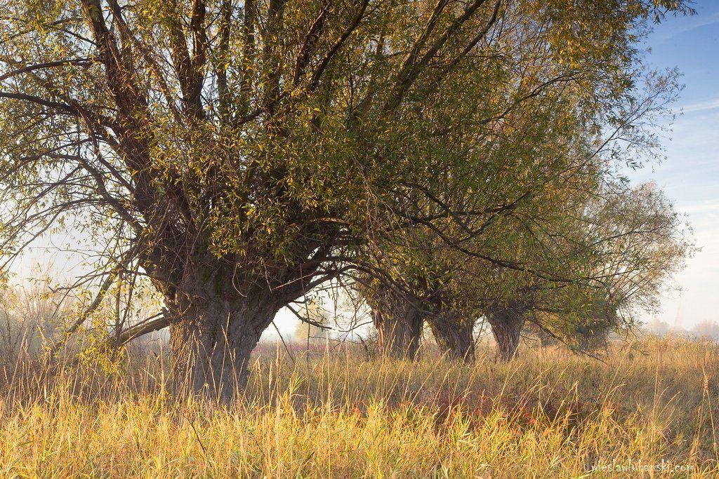 willows, lubanski, ciudat