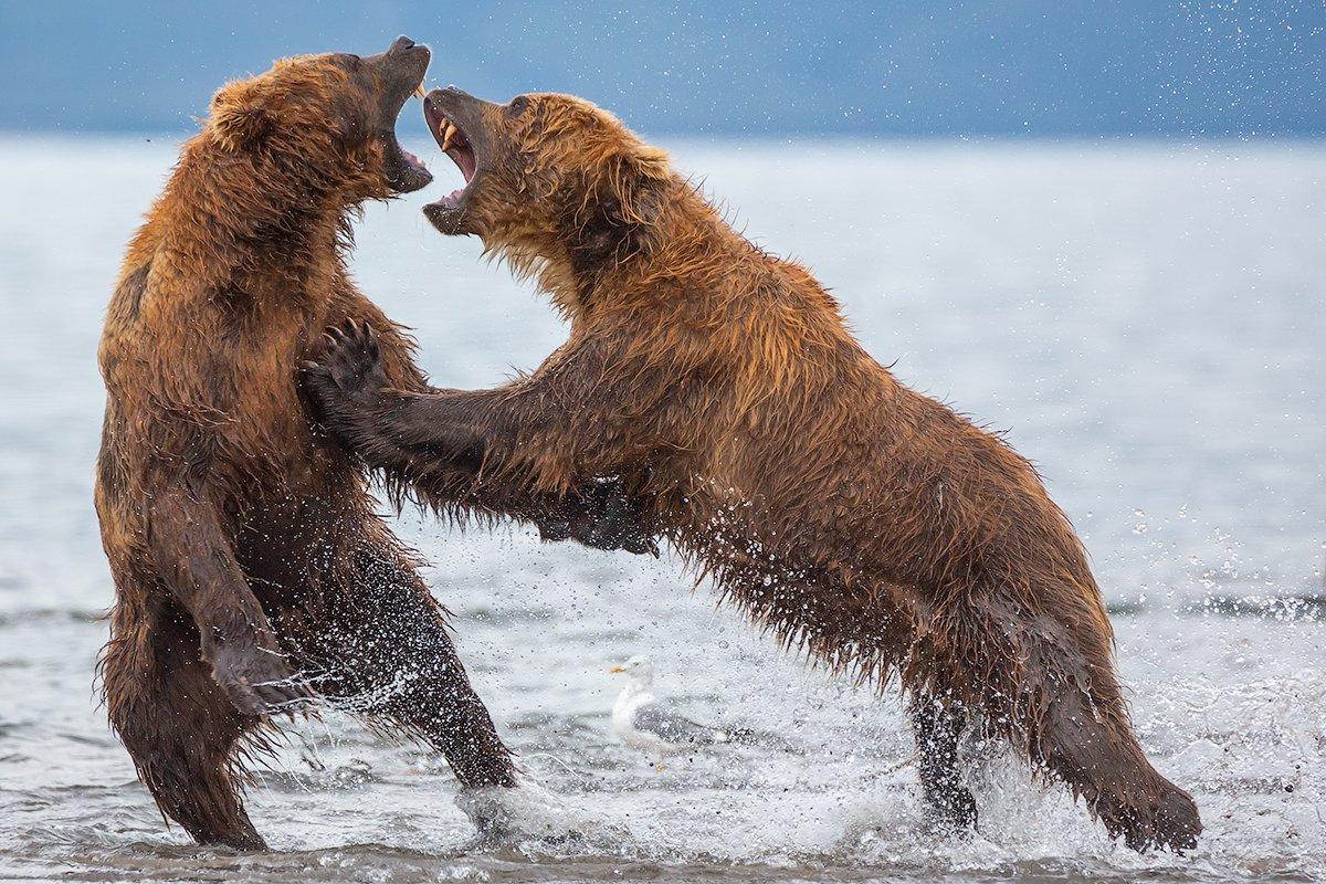камчатка, медведь, природа, путешествие, фототур, животные, Денис Будьков