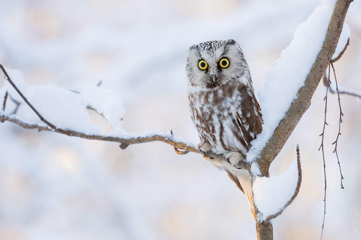 мохноногий сыч, сова, зима, Байбекова Светлана