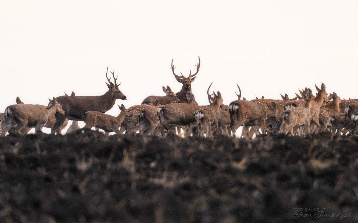 россия,парк,олени,животные,природа,wwf, фототур, анималистика,олень, Elena Pakhalyuk