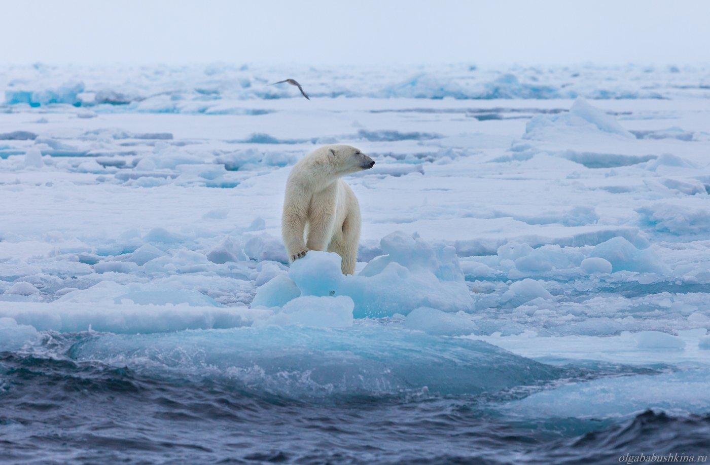 белый медведь, шпицберген, свальбард, арктика, arctic, svalbard, Бабушкина Ольга