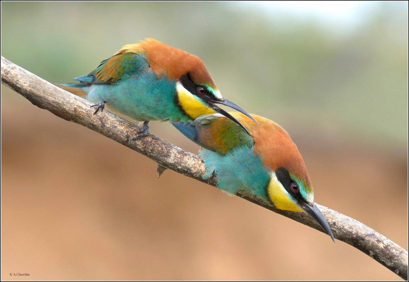 птицы,щурки,весна, Александр Чувилин