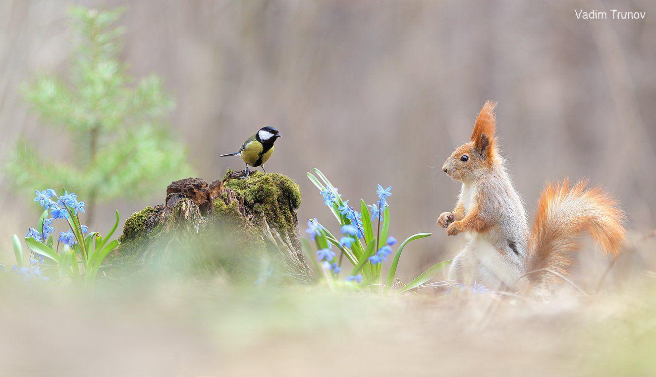 белка, синица, подснежник, squirrel, весна, Вадим Трунов