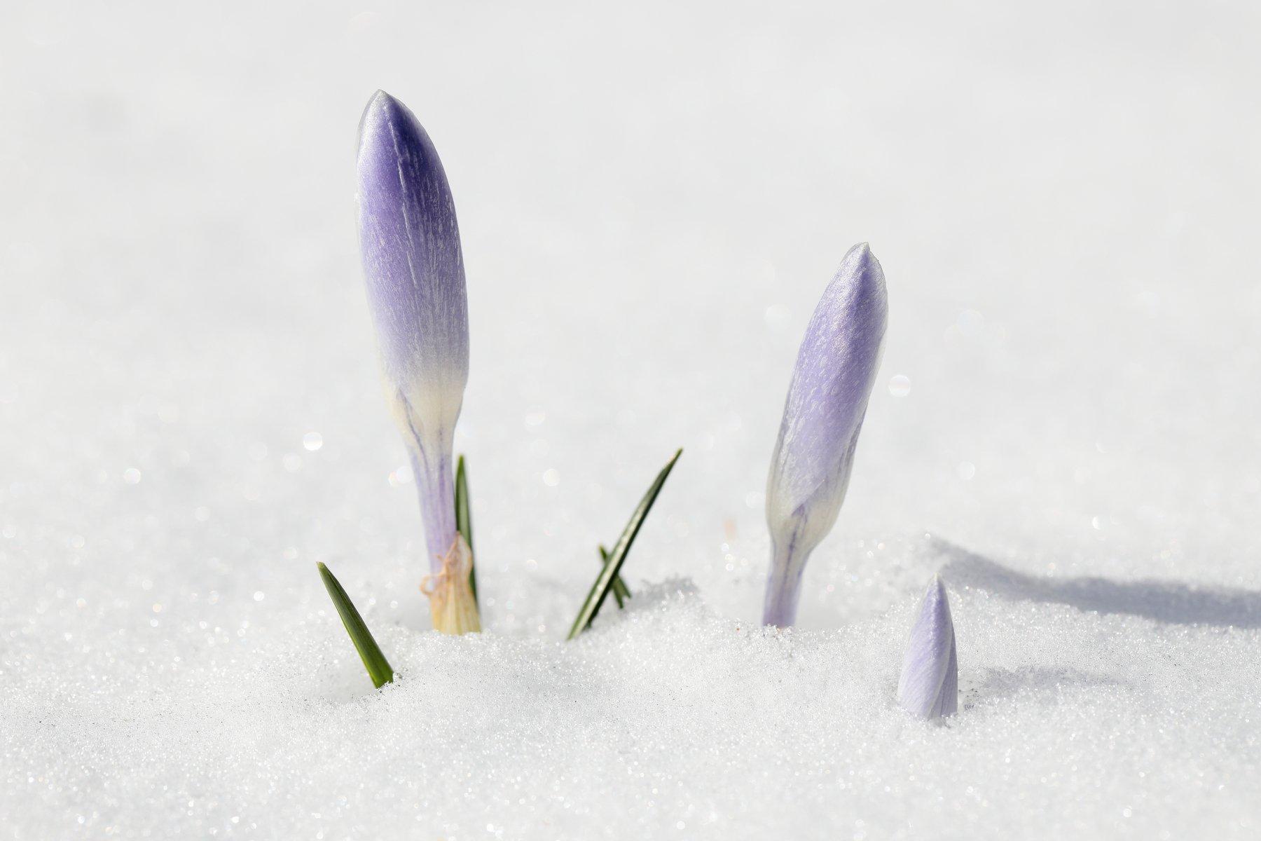 крокус, снег, весна, природа, цветы, Попов Алексей