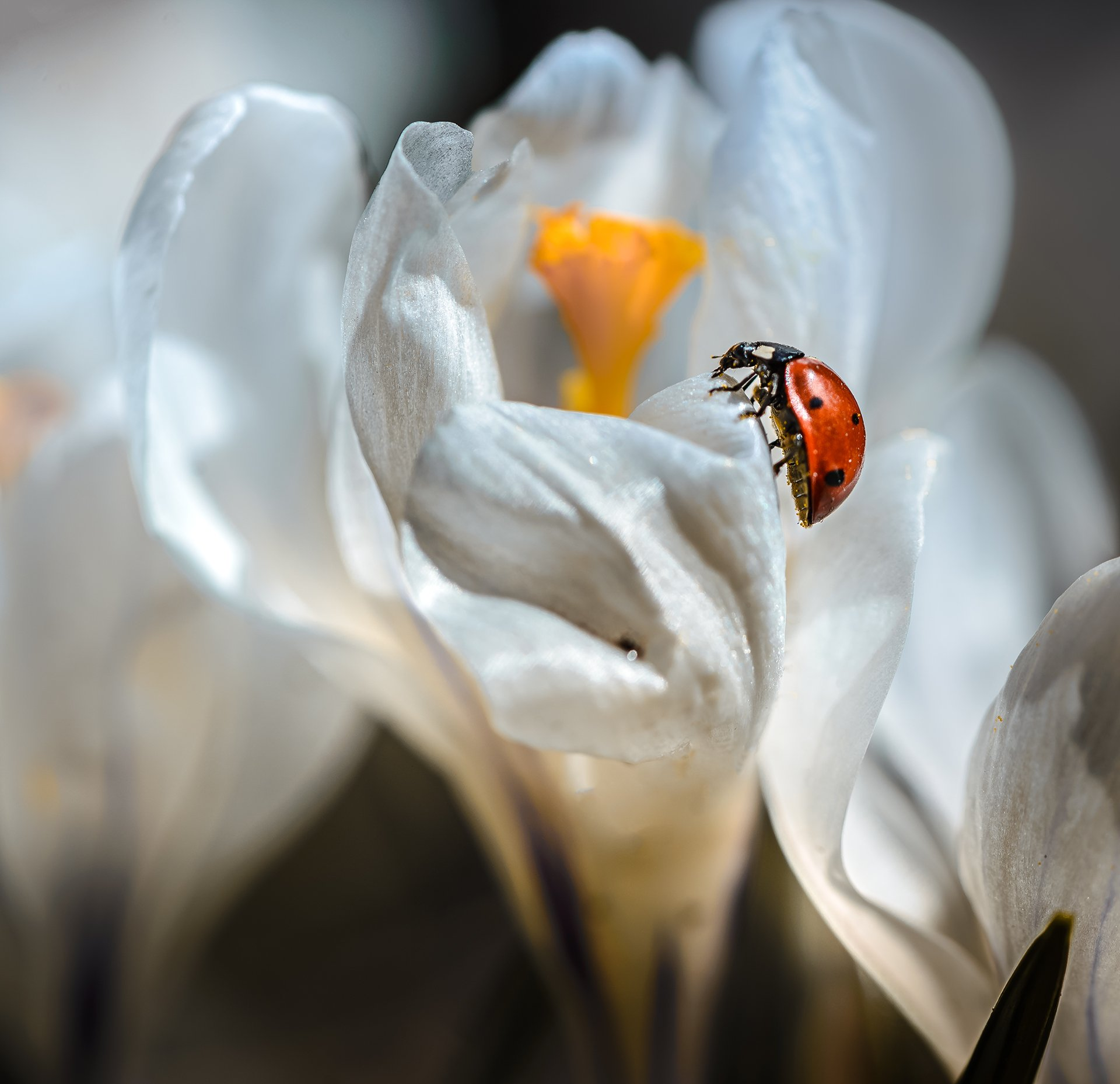 природа, макро, весна, крокус, жук, насекомое, божья коровка, Неля Рачкова