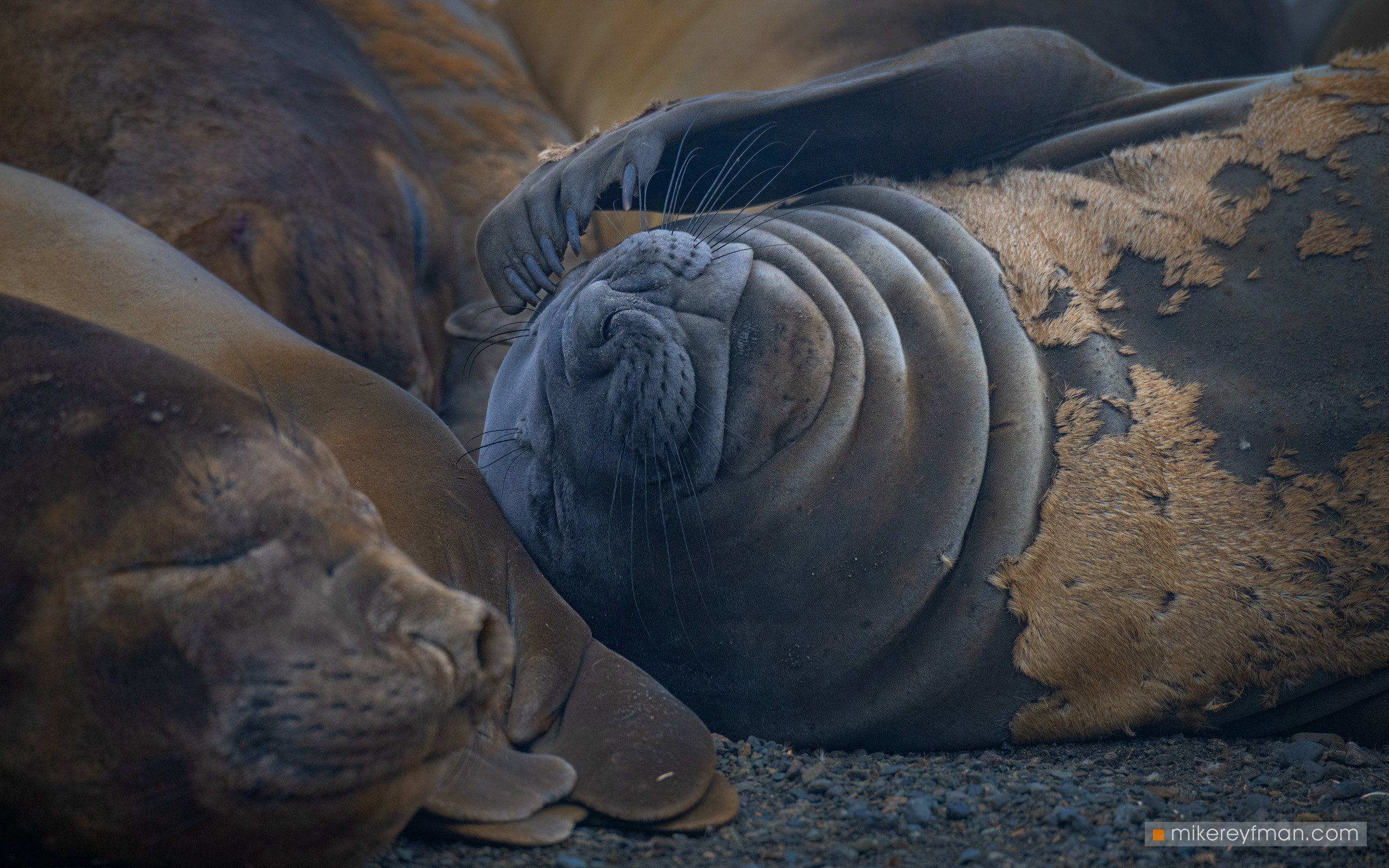 southern_elephant_seal, yankee_harbour, greenwich_island, shetland_islands, antarctica, animal_wildlife, animals_in_the_wild, antarctica, aquatic_mammal, beach, male_animal, nature, no_people, the_natural_world, Майк Рейфман