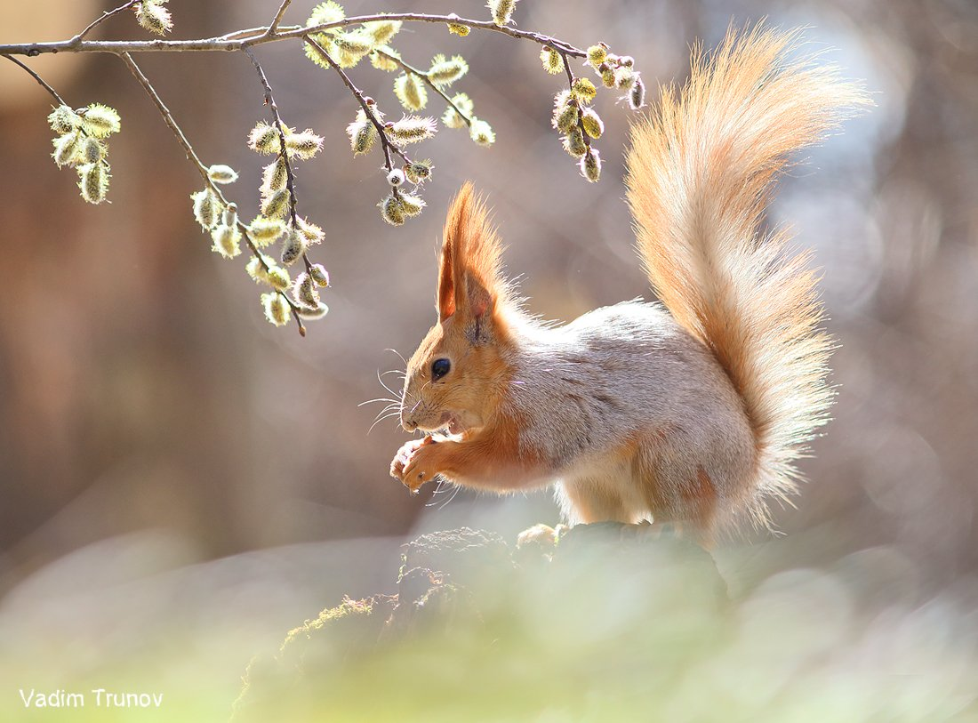 белка, верба,весна, squirrel, Вадим Трунов