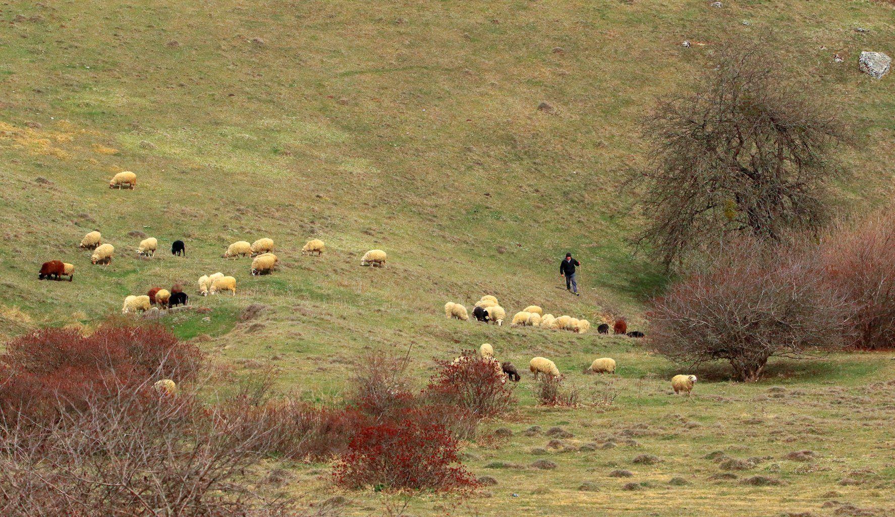 овцы,пастух,горы,вершины,пейзаж,деревья,дагестан,природа, Magov Marat