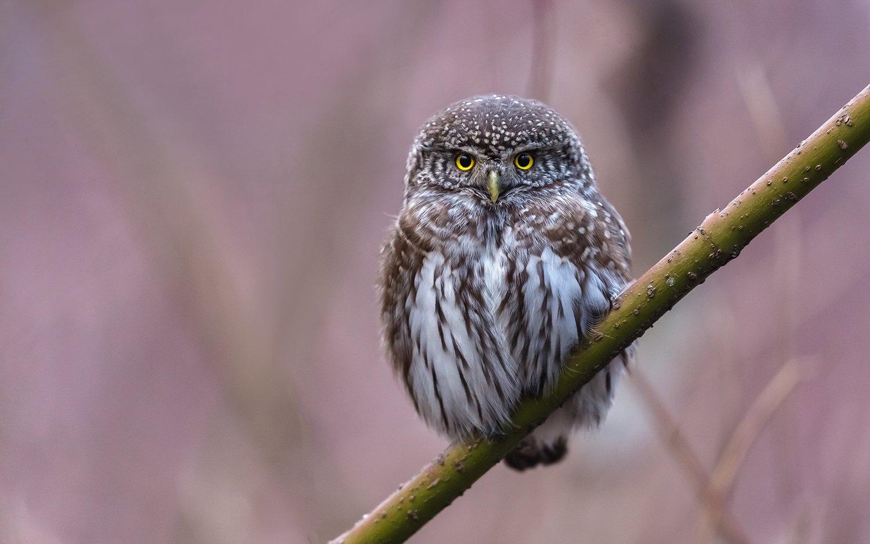 птица, дикая птица, хищная птица, орнитология, дикая природа, фотоохота, , сыч, сыч воробьиный, зима. охота, фотоохота, мышь, Dubinkin Victor