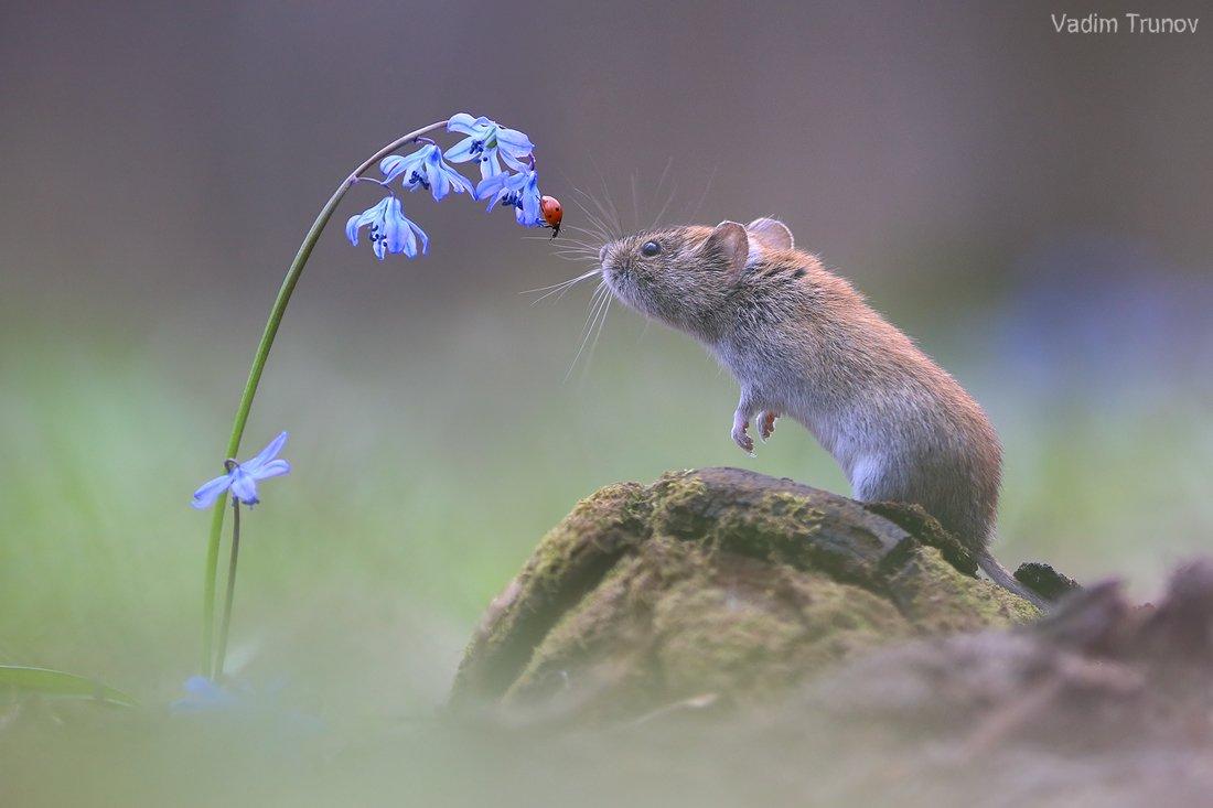 мышь, божья коровка, подснежник, весна, Вадим Трунов