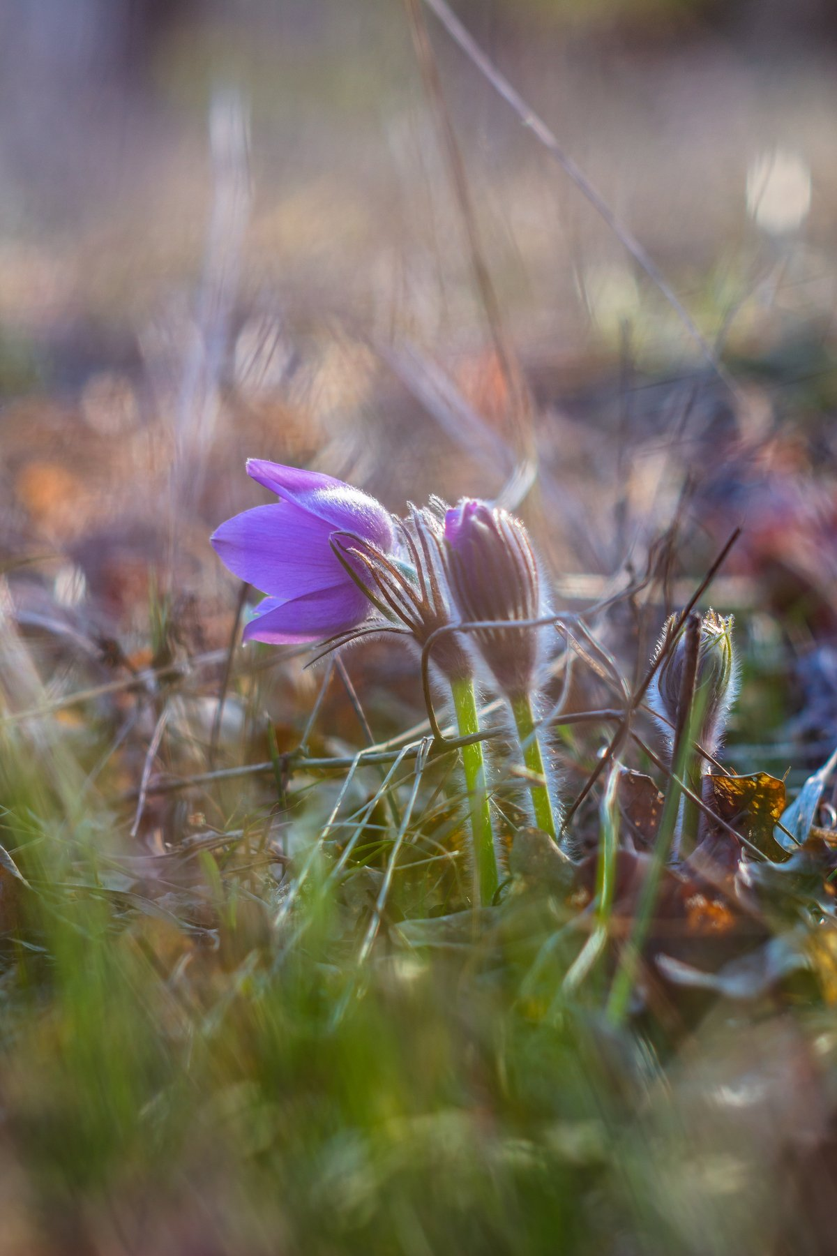 сон-трава, первоцвет, лес, заповедник, весна, Востриков Руслан