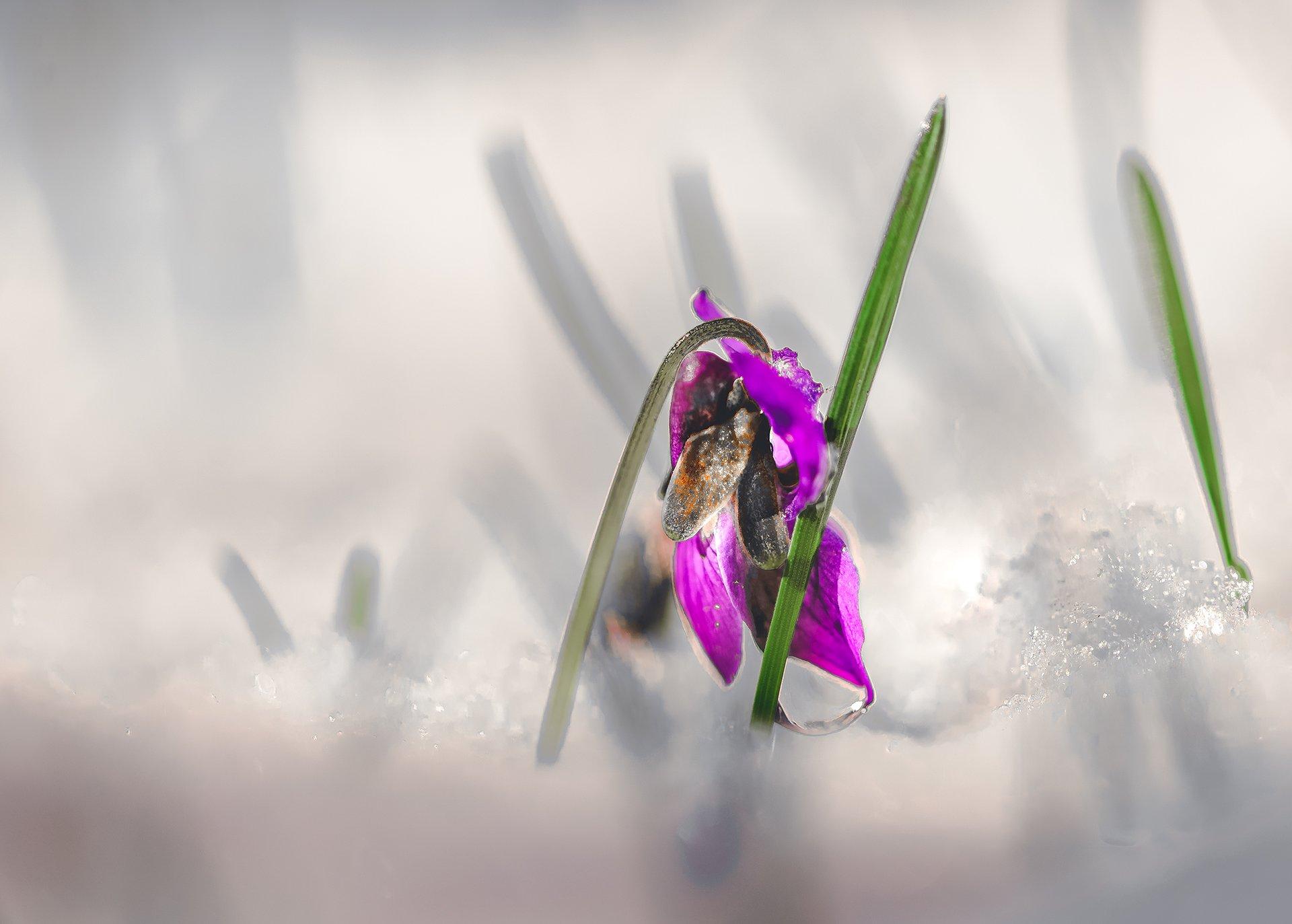 природа, макро, весна, цветы, фиалка, снег, Неля Рачкова