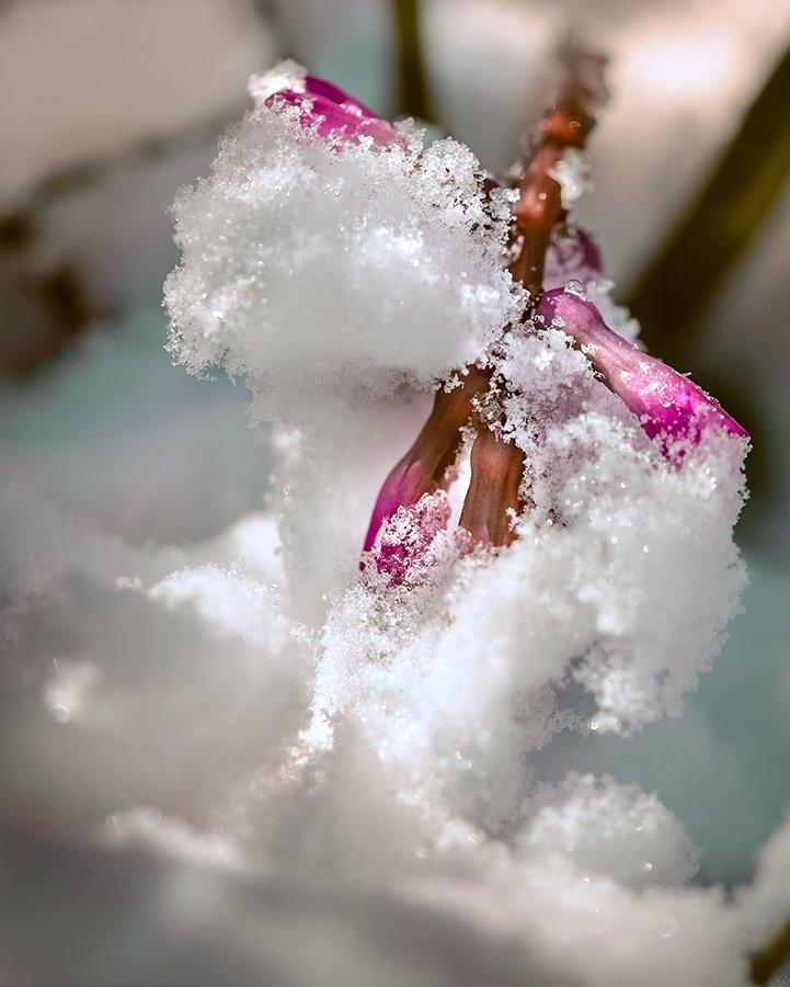 природа, макро, весна, цветы, гиацинт, снег, капризы погоды, Неля Рачкова