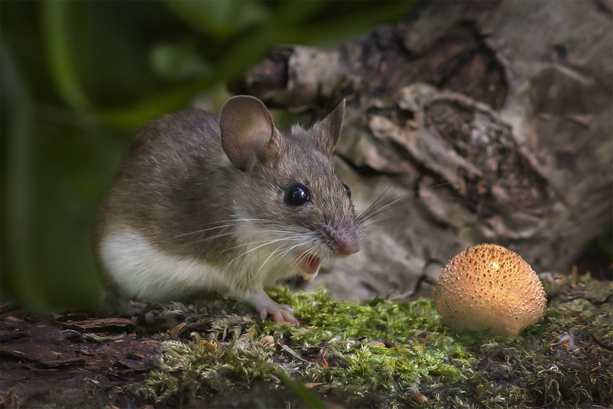мышь, удивление, гриб, дождевик, Наталия Сытина