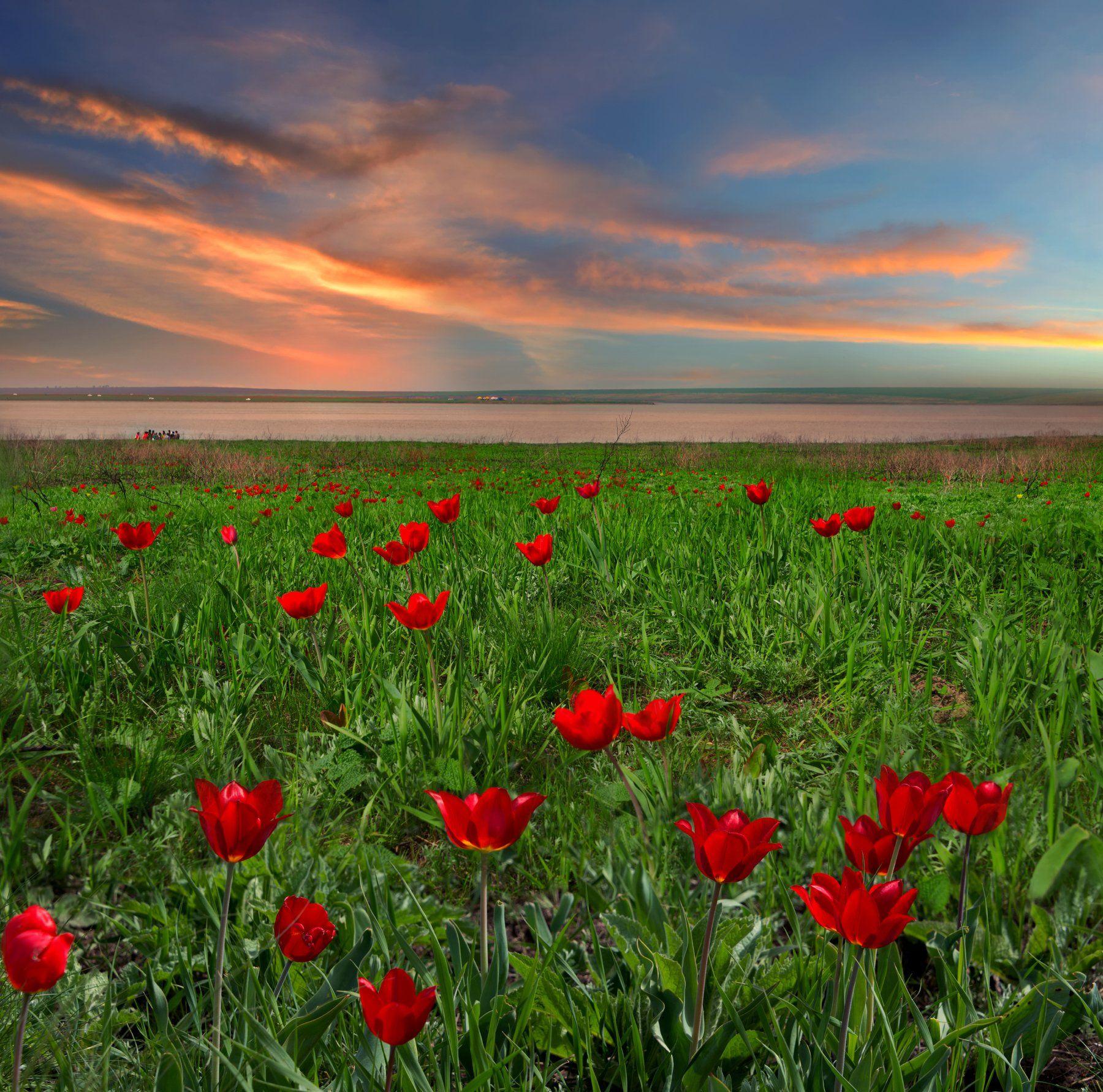 Калмыкия. Про закат с дикими тюльпанами. Елена Брежицкая