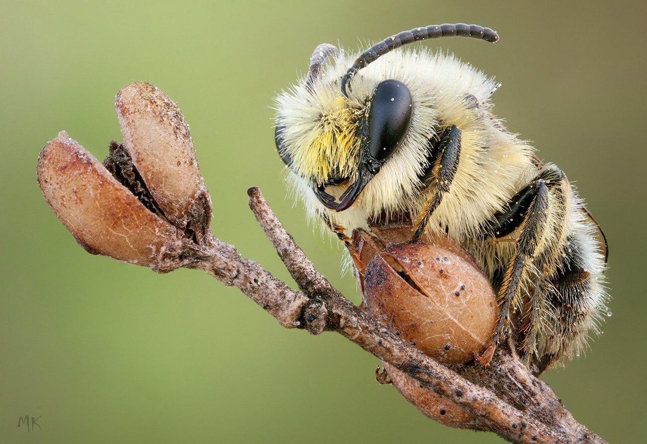 дикая, пчела, Miron Karlinsky