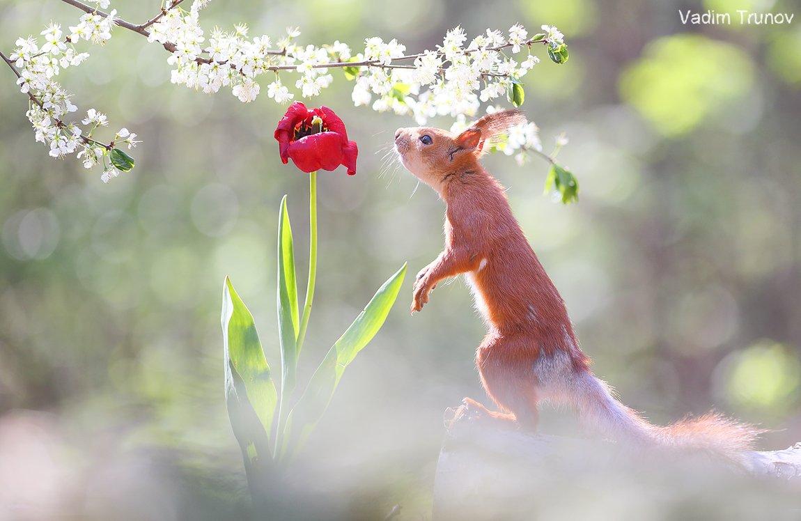 белка, весна, squirrel, сад, цветы, Вадим Трунов