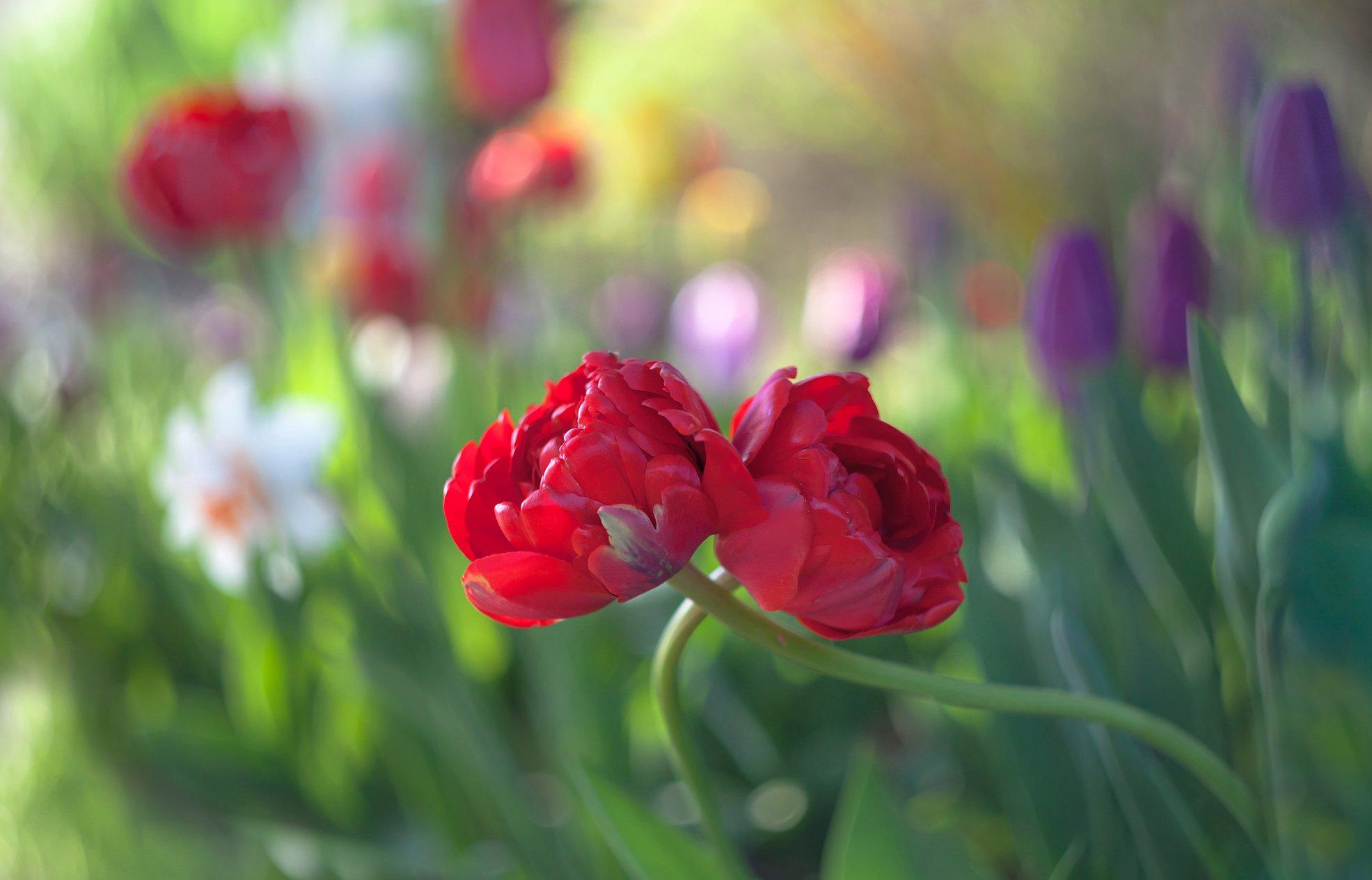 природа,цветы,тюльпаны,весна,, Антонина Яновска