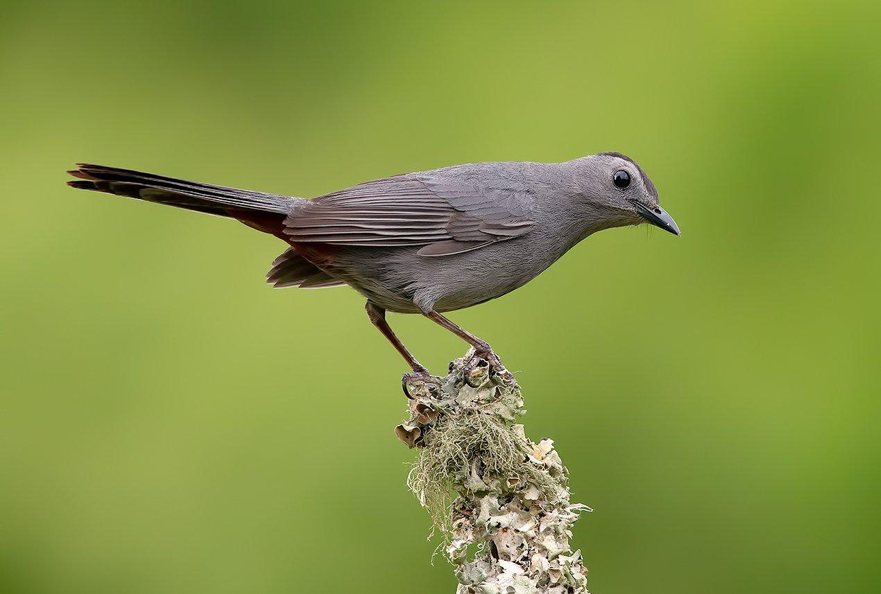 gray catbird, кошачий пересмешник,  пересмешник, catbird, Elizabeth E