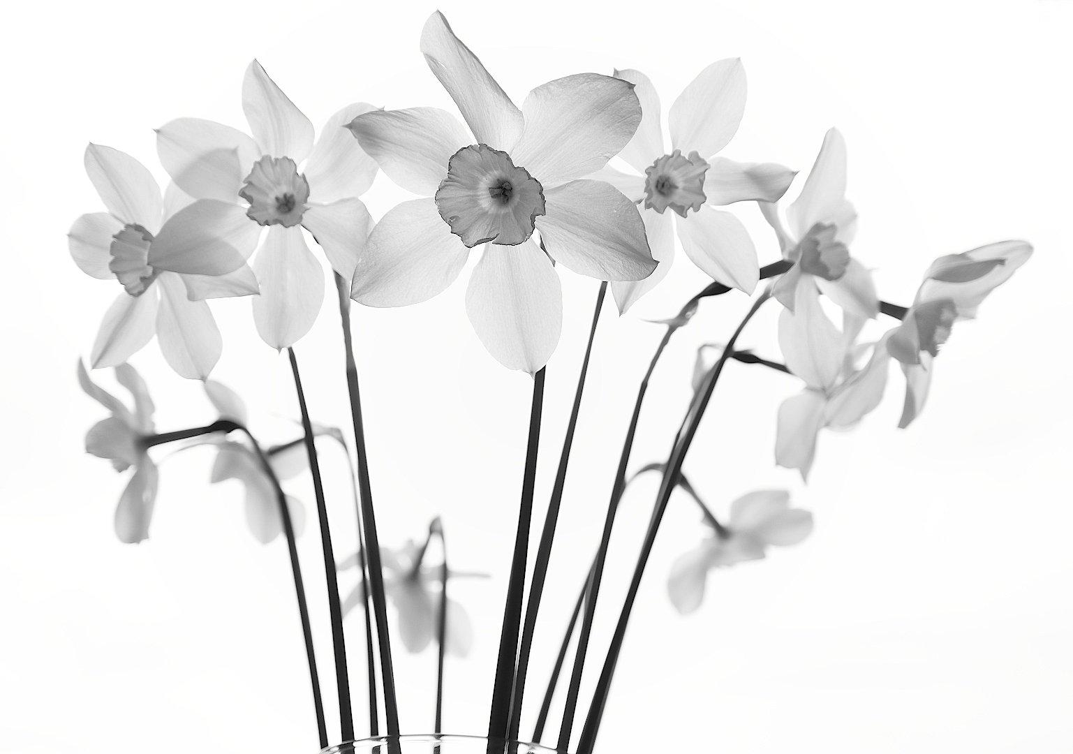 narcissus poeticus нарцисс цветок, Александр Зорин