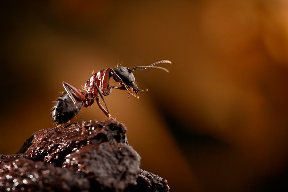 macro, ant, Helena Flykt