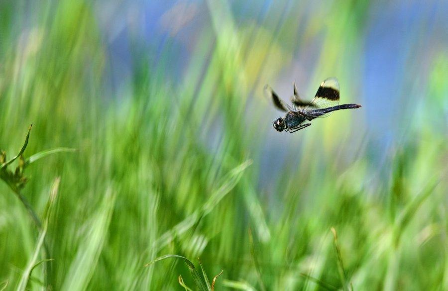 ethiopia, macro, dragonfly, hunter, predator, insect, wildlife, стрекоза, эфиопия, макро, насекомые, охота, поведение, природа, африка, Илья Гомыранов