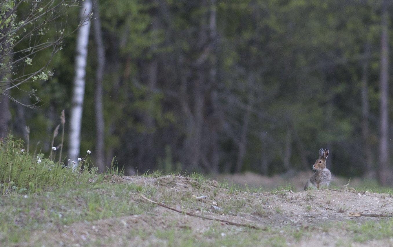 заяц весна фотоохота, Руслан Соколов